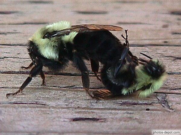 Photo de reproduction des abeilles