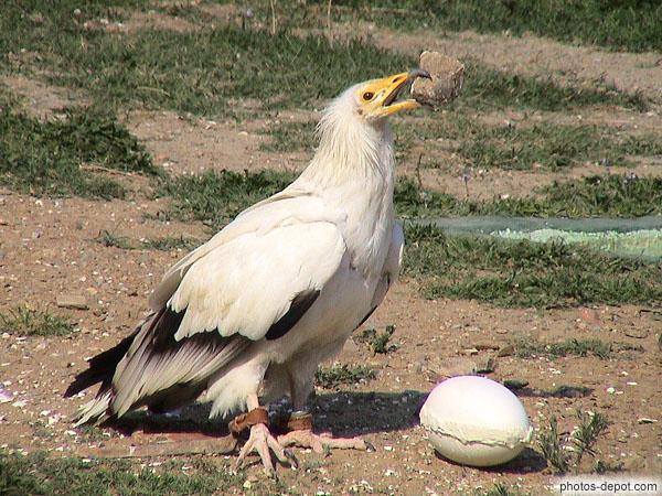 le percnopt re est le seul vautour qui casse les oeufs d 39 autruche en lan ant un caillou pour le. Black Bedroom Furniture Sets. Home Design Ideas