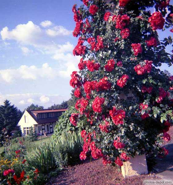 fleurs rouges grimpantes autour du pilier. Black Bedroom Furniture Sets. Home Design Ideas