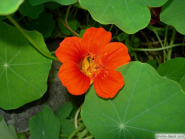 fleur et feuille de capucine rouge