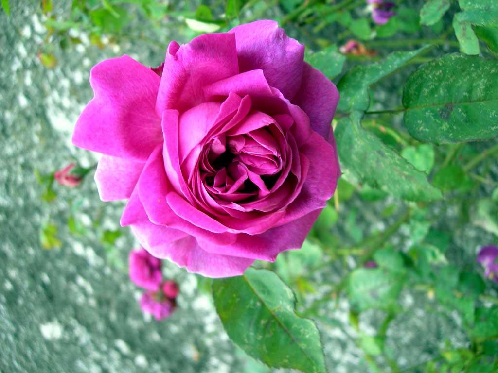Les Roses De Damas Le Blog De Jo